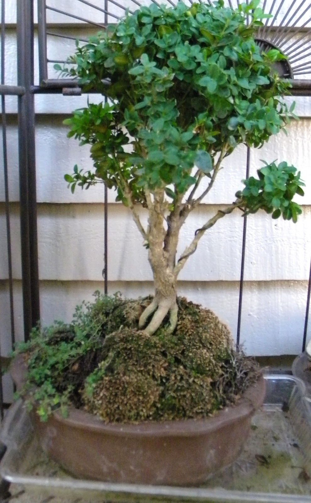 Recklessly Dancing While Supper Burns Making Your Own Bonsai