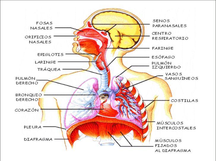 ANATOMIA, FISIOLOGIA Y EDUCACION PARA LA SALUD: Sistema Respiratorio