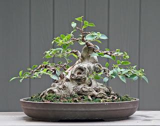 bonsai seribu bintang