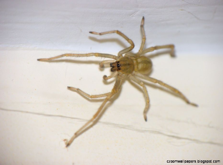 Yellow Sac Spider full view taken with an Olympus SP 590UZ using a