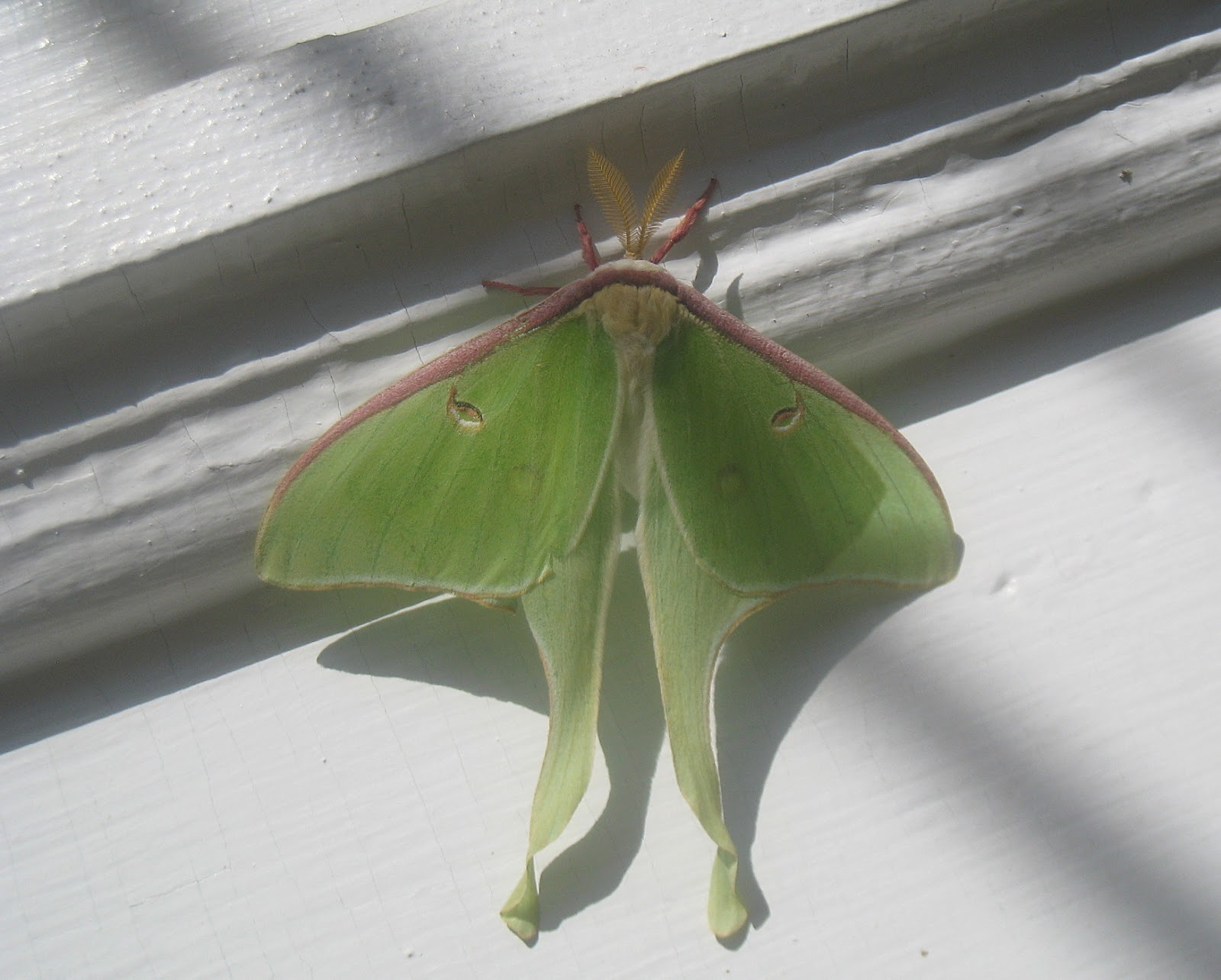 Maynard Life Outdoors And Hidden History Of Maynard Luna Moth