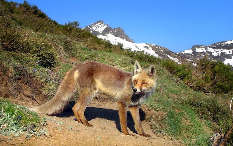 Fox - Zorro en las praderas by Álvaro Gutiérrez