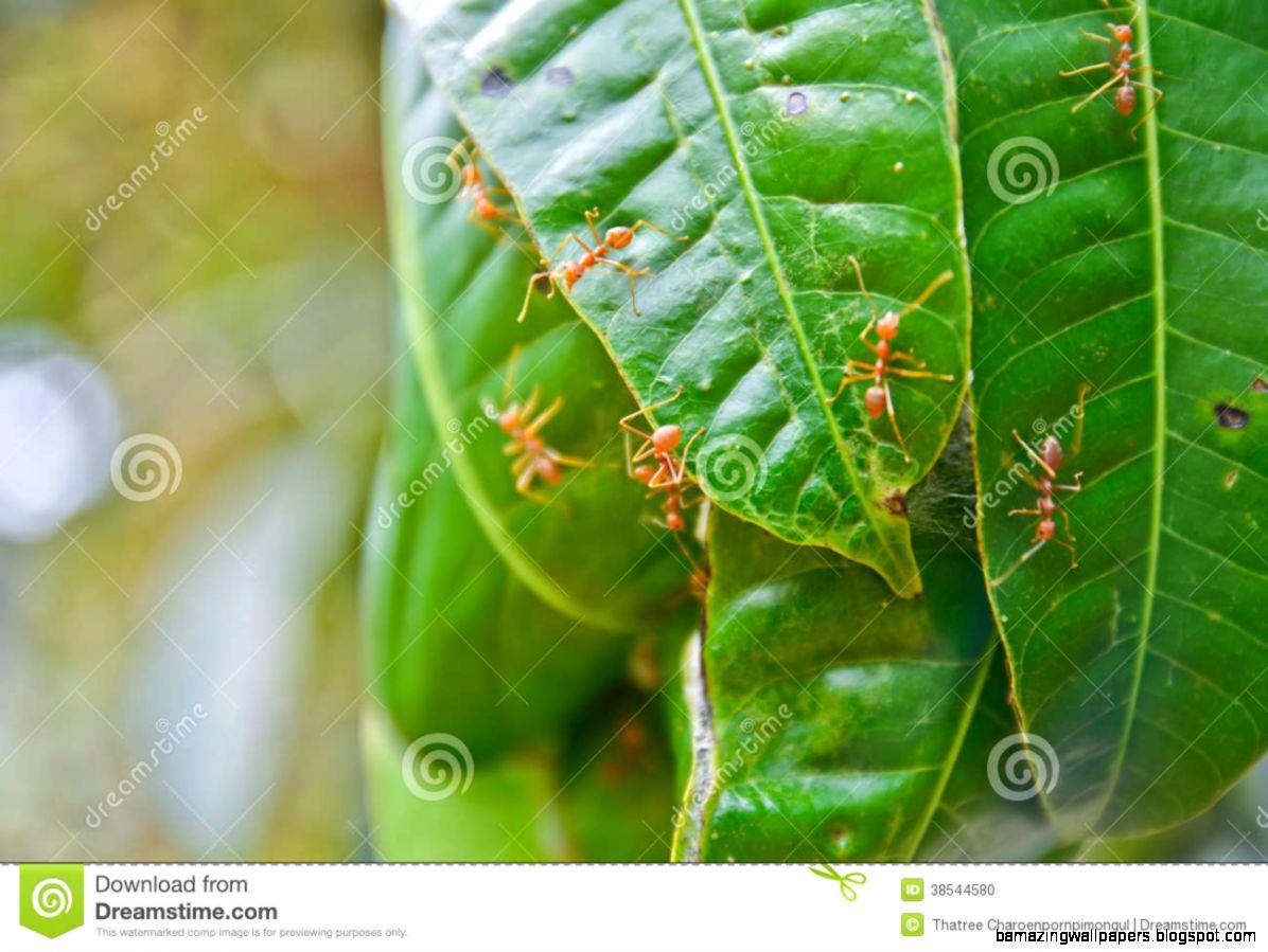 Red Ant Nest On Mango Tree Stock Photo   Image 38544580