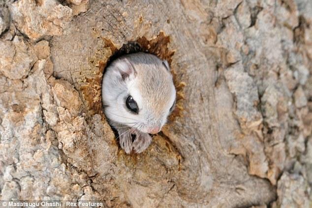 http://3.bp.blogspot.com/-xvBvXcCUSeI/UT1FDLlkH5I/AAAAAAAADOo/-SHO1UfxEkI/s1600/Siberian+Flying+Squirrels.jpg