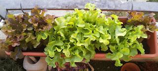 6 Salades dans un bac de terre accroché à la balustrade de ma terrasse. Les vertes se développent très rapidement alors que les rouges sont plus posées. Ces dernières sont de fait un peu écrasées par les verdoyantes.