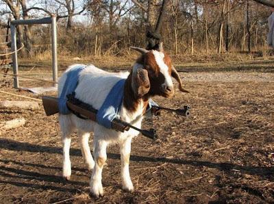 Funny Goat Have Gun