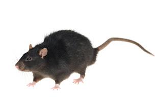 10 Fakta Menarik Tantang Tikus [ www.Bacaan.ME ]