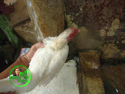 Memandikan induk ayam