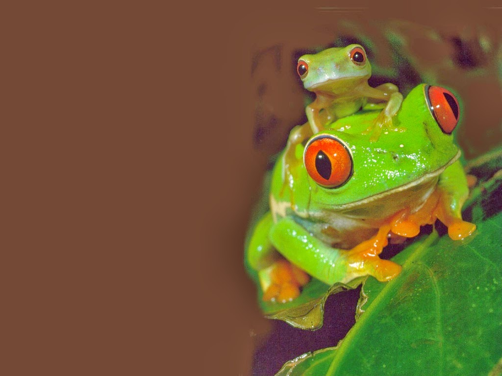 Sunshine Frog: The Red-Eyed Tree Frog
