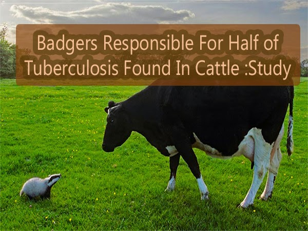Badgers Responsible For Half Of Tuberculosis Found In Cattle
