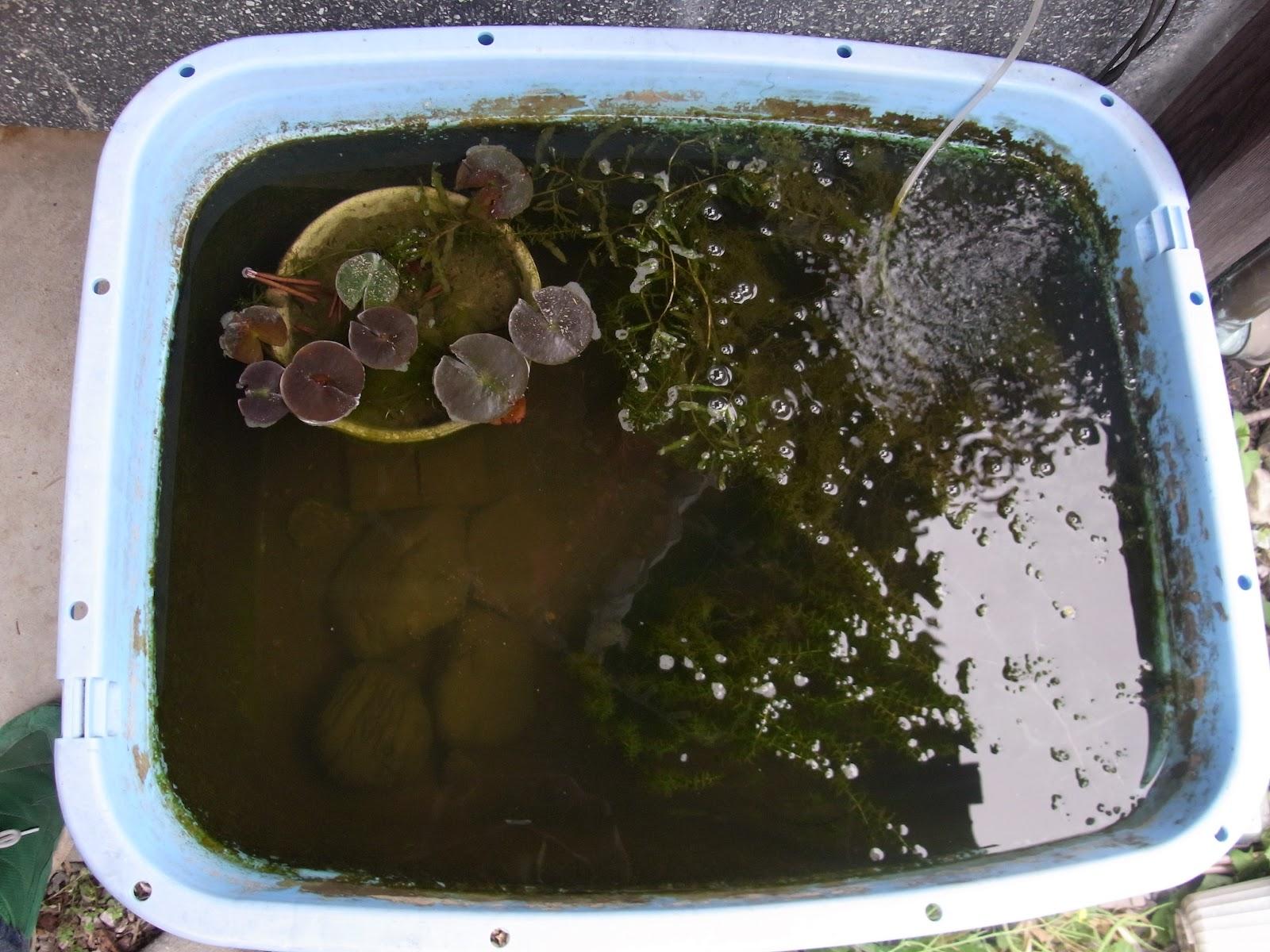 このプラスティック池には、霞ヶ浦産ヤリタナゴとバラタナゴがいます。もち... 5/9 タナゴライ