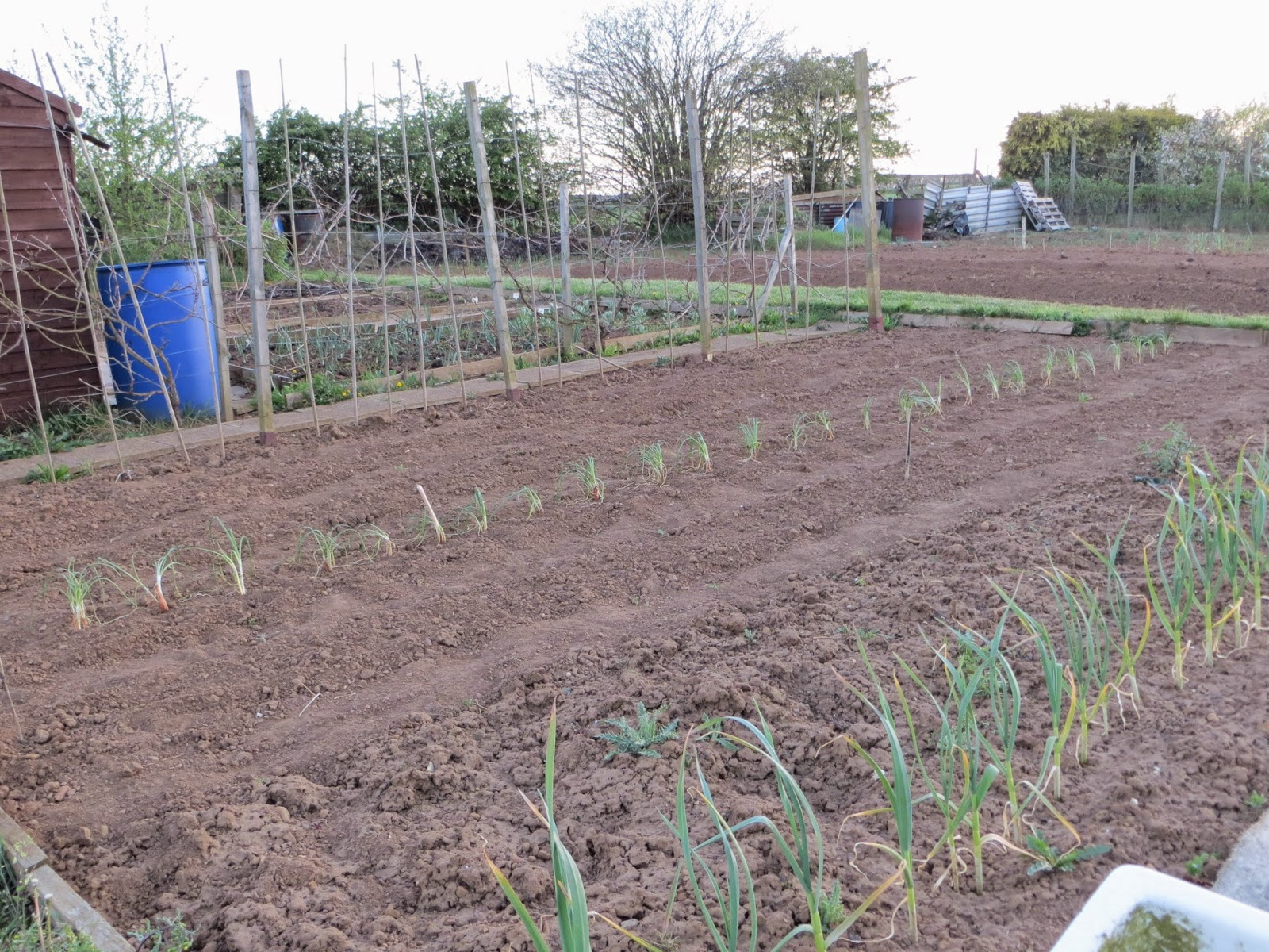 onions, shallots, welsh bunching onions, garlic