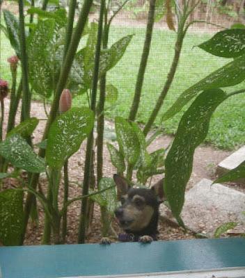 Chihuahua, La Ceiba, Honduras
