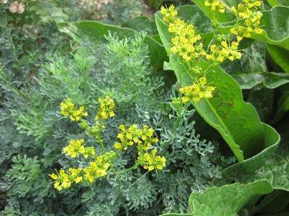 Conjuros y ritos de suerte rituales tradicionales con la ruda for Donde venden plantas baratas
