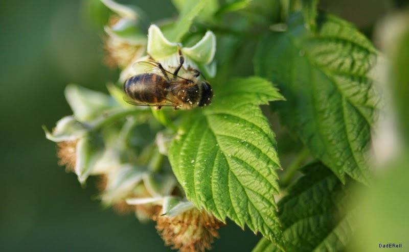 Abeille mellifère sur une fleur de framboisier