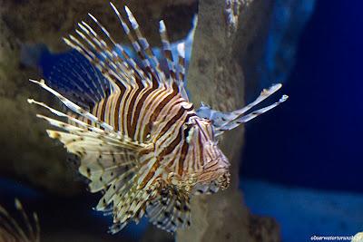 Ryba księzycowa