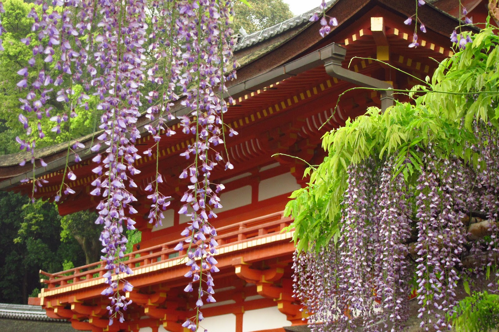 Round of the Seasons in Japan: Wisteria Shower