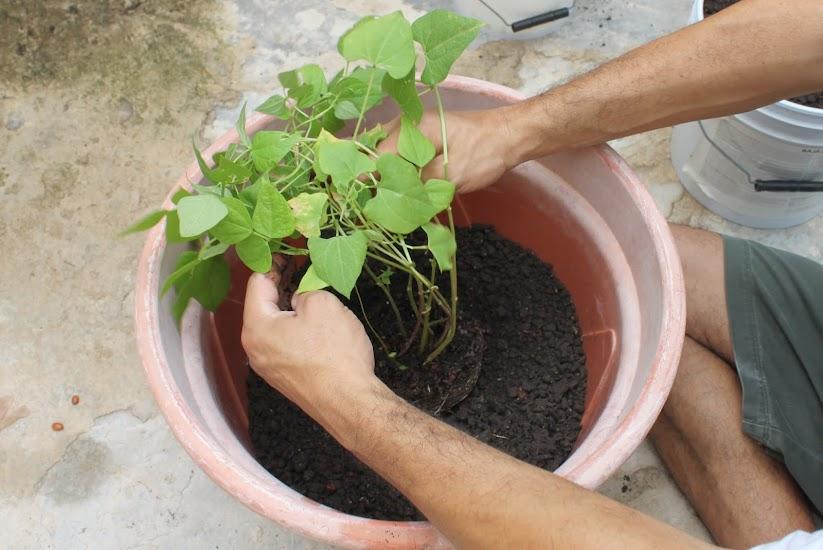 mi hortaliza, tu hortaliza: pasos para hacer una planta de frijol