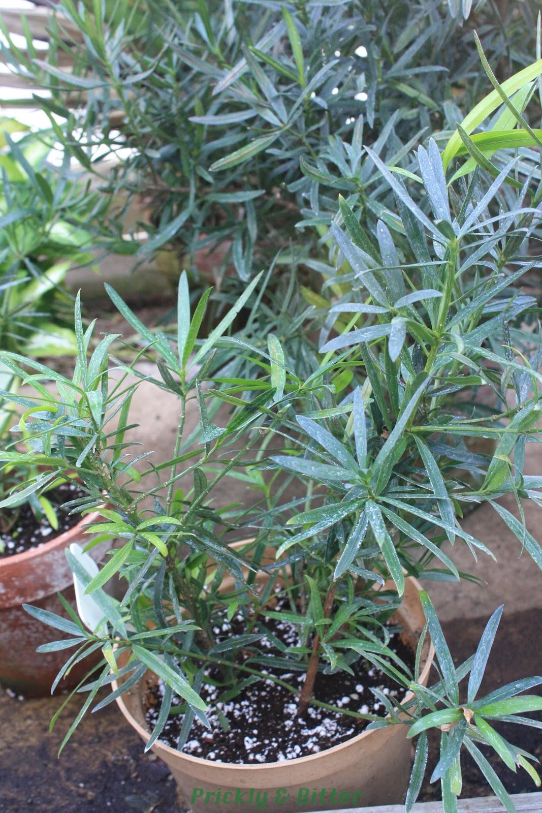 Prickly And Bitter Kusamaki The Arhat Pine