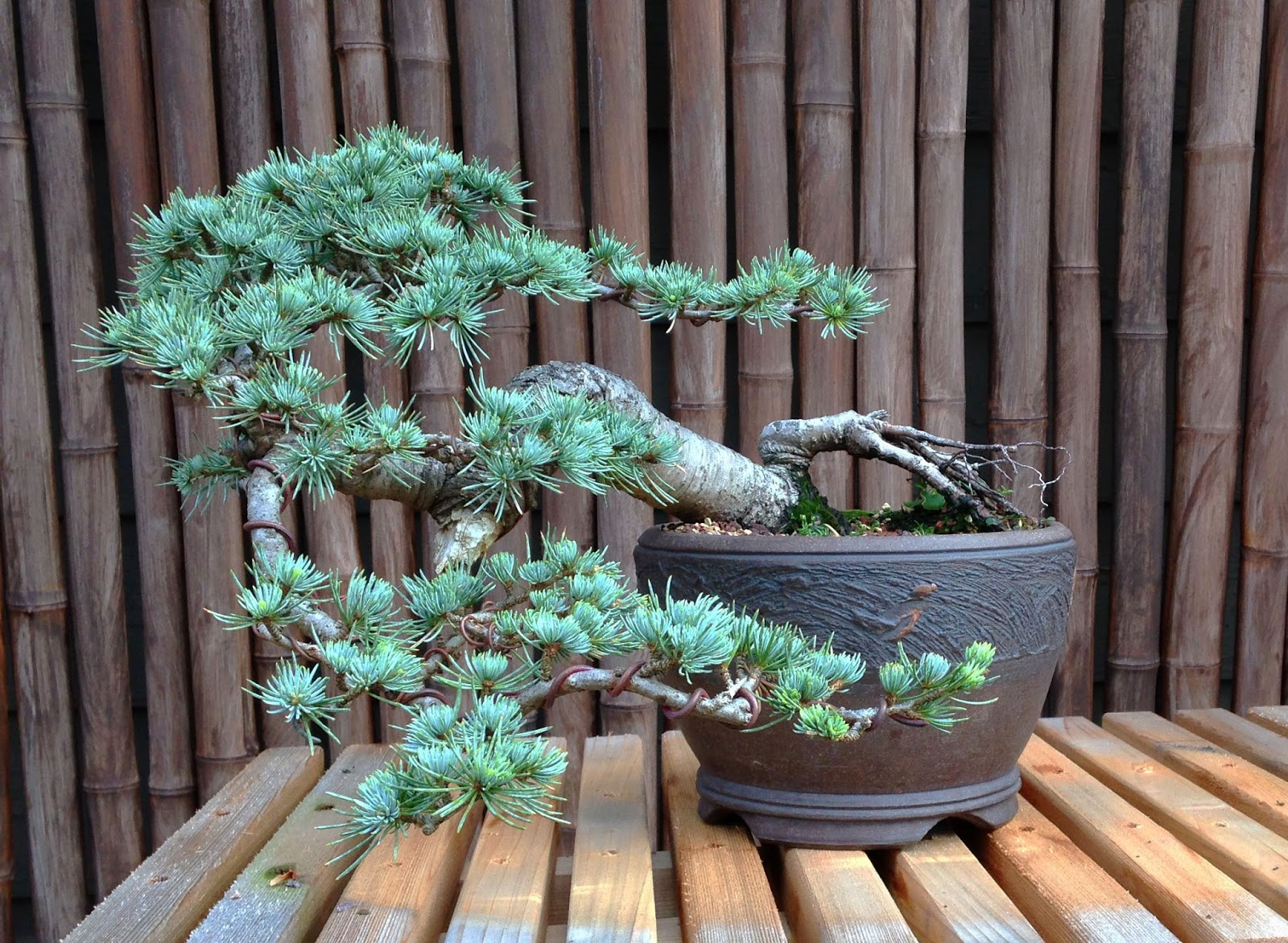 Blue Atlas Cascade TGT Bonsai