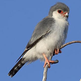halcon pigmeo Falconida Polihierax semitorquatus