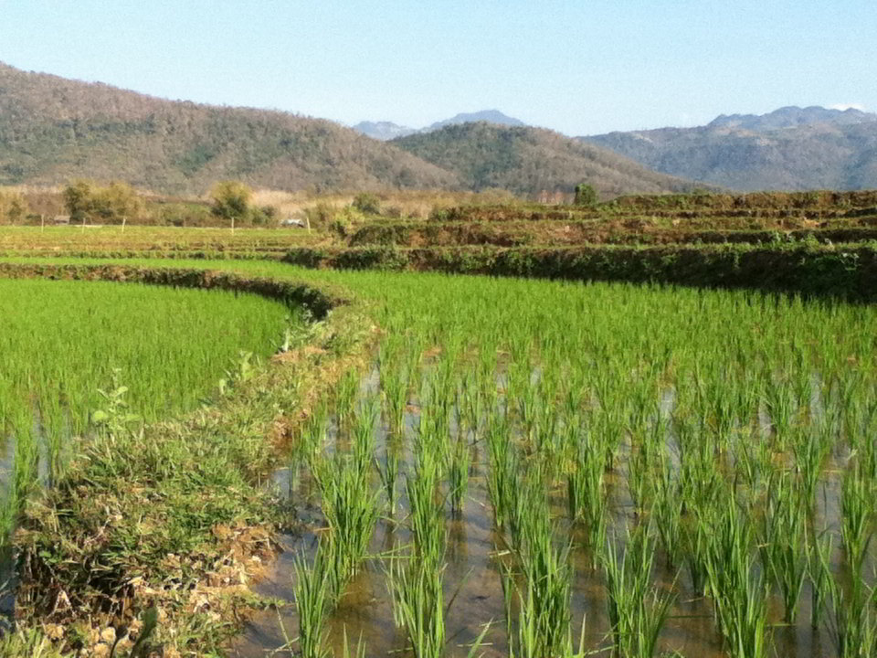 Rice fields are the lifeblood for Thai and Lao villagers and culture. Without rice, there can be no weaving.
