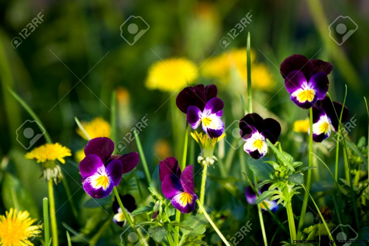 Beautiful Wild Purple Pansies Growing With Other Yellow Flowers