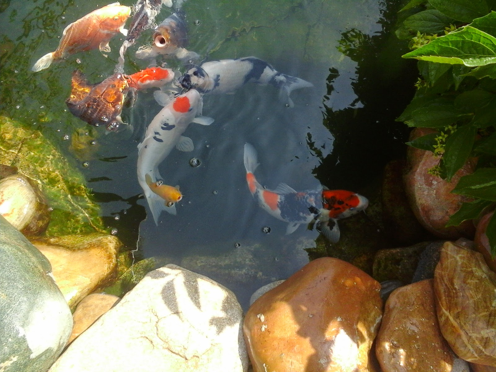 Bonsa et carpes koi mon bassin for Elever des carpes