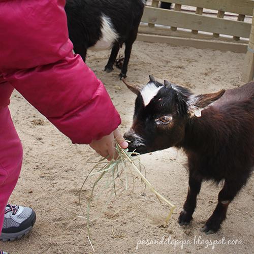 pasandolopipa : cabrita del zoo de madrid