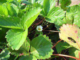 vkusniogorod - клубника в августе - цветок