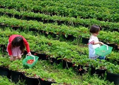 Wisata Strawberry Lembang