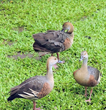 Plumed Whistling Duck 685