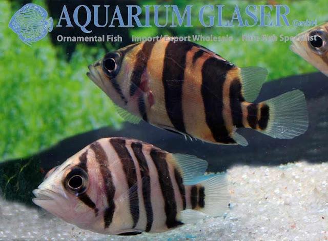 Datnioides microlepis (Сиамский тигровый окунь)