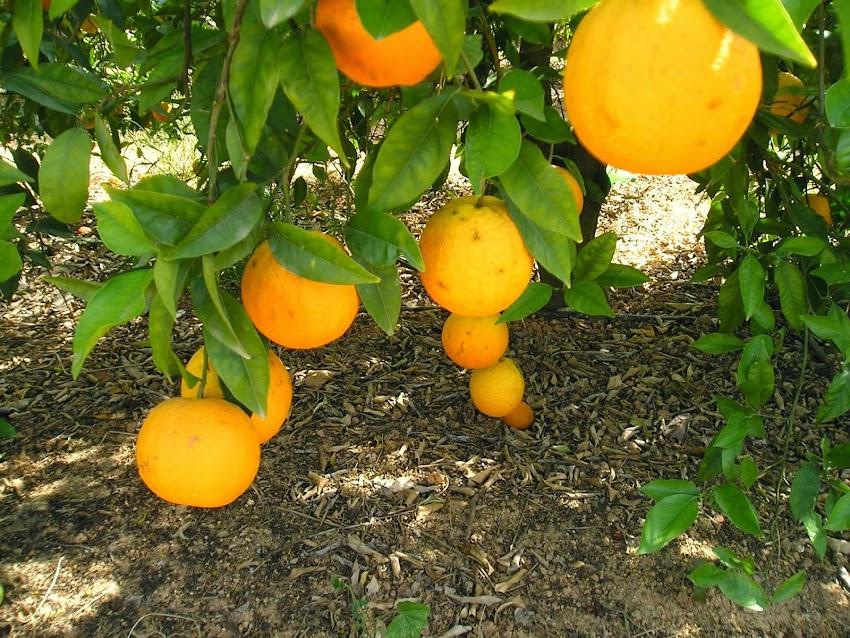 Oranger et oranges