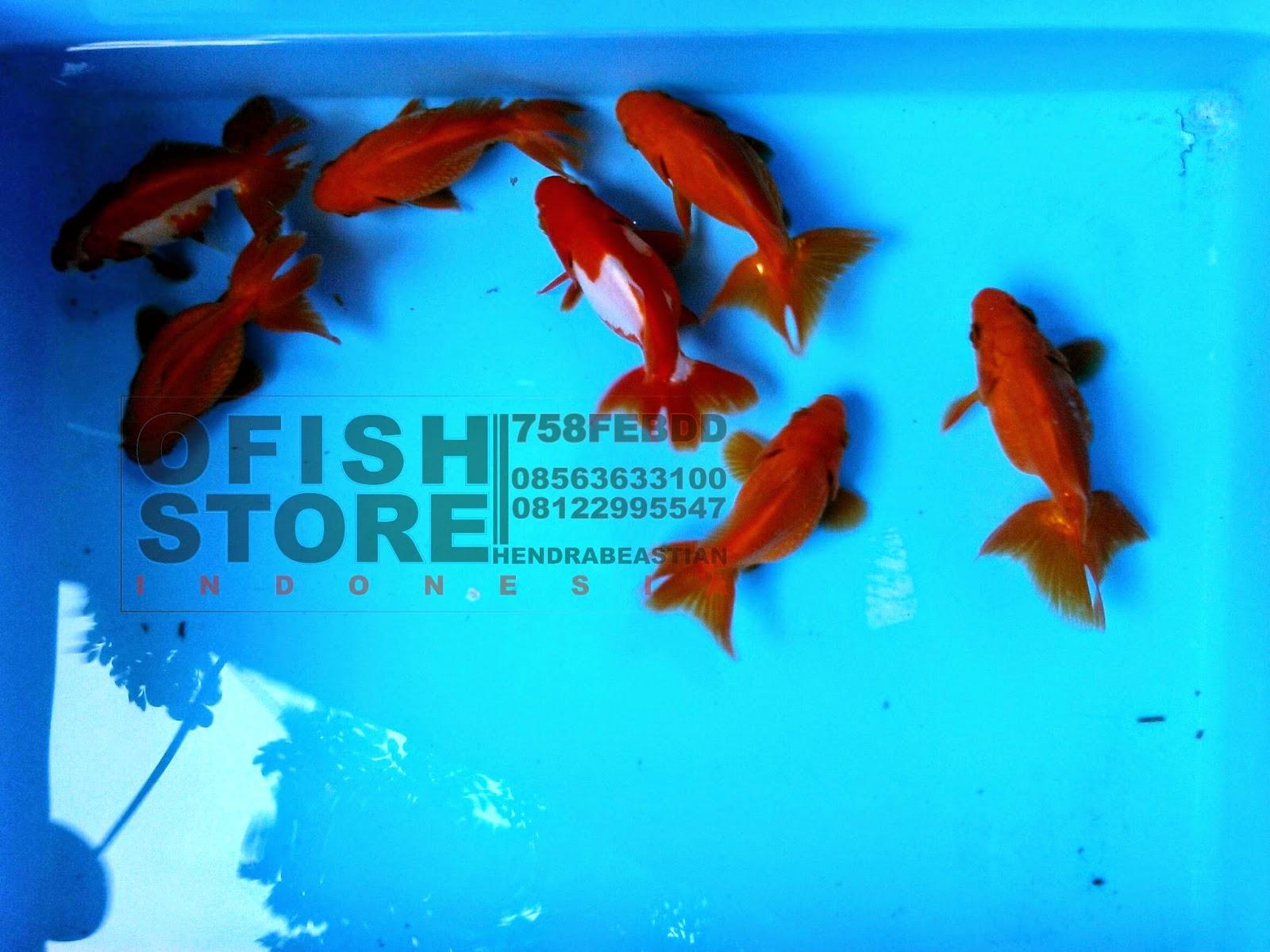 Jual Ikan Hias Cupang Jual Ikan Hias Guppy Jual Ikan Hias Koi