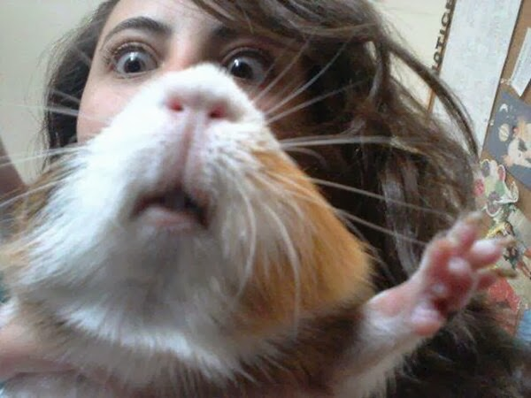 Funny animals of the week - 10 January 2014 (35 pics), funny guinea pig