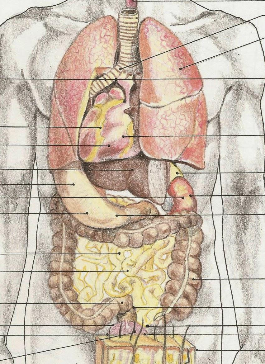 Ilustraciones Cientificas -Beatriz Moreno-: detalle organos del ...