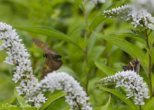 Flower hill farm butterflies of 2012 skippers flower for Flower hill farms