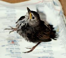 Storia di uno storno caduto dal nido
