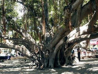 lahaina old tree
