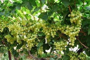 הכרם- בציר עצמי של ענבים