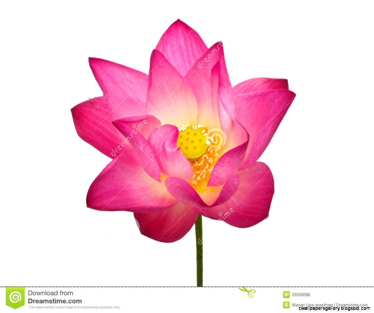 hoontoidly Single Flower White Background No Watermark Images