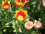 I tulipani sono tra i miei fiori preferiti, mi piacciono moltissimo, . (img )