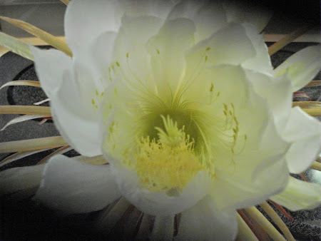 Night Blooming Cactus