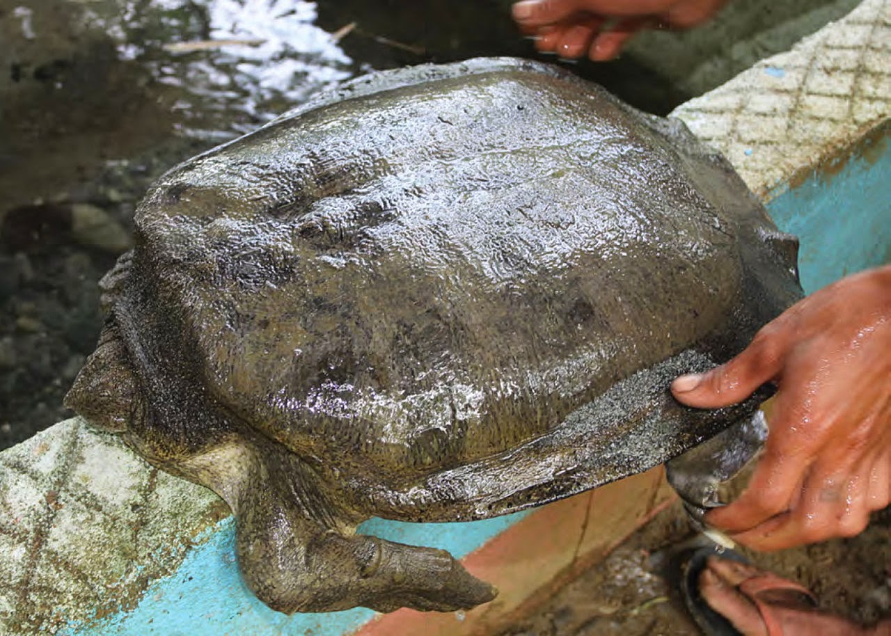 Image of a young Cantor's giant softshell turtle