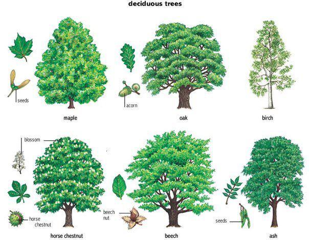 английская лексика деревья