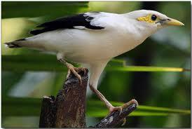 Tips pemeliharaan burung ciblek supaya cepat gacor
