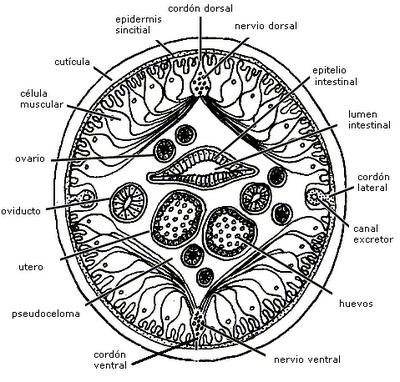Nematodos: Anatomía