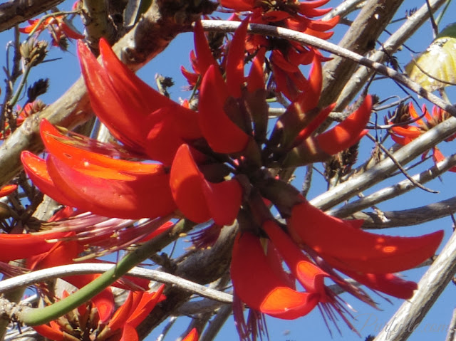 Flower of the Coral Tree aka Flame Tree