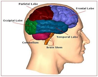 Brain Diagram3